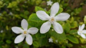 Un piccolo fiore bianco fotografia stock