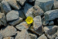 Un piccolo fiore giallo è aumentato fra le pietre fotografie stock