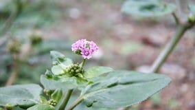Un piccolo fiore rosa-chiaro sconosciuto i vedere in foresta, macro colpo estremo fotografia stock