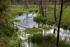 Un piccolo fiume al bordo delle zone umide e delle paludi della foresta vicino al fiume fotografia stock