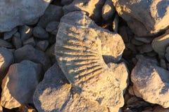 Un piccolo fossile Fotografia Stock Libera da Diritti