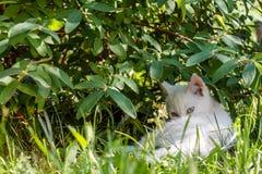 Un piccolo gattino bianco si trova sotto un cespuglio nell'erba verde immagini stock