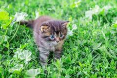 Un piccolo gattino con gli occhi azzurri passa attraverso erba verde ottenere immagini stock