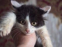 Un piccolo gattino lanuginoso vi esamina con gli occhi gialli Fotografia Stock