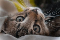 Un piccolo gattino sta fissando alla macchina fotografica con gli sguardi dolci immagine stock libera da diritti
