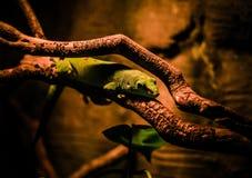 Un piccolo geco Fotografia Stock