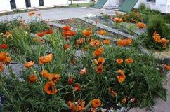 Un piccolo giardino dei fiori rossi fiorisce fra i campi nei colori pastelli Fotografia Stock