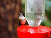 Un piccolo giovane colibrì che mi esamina Fotografia Stock