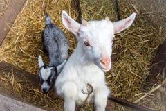 Un piccolo giovane primo piano della capra in un gregge Il concetto di bestiame Copi lo spazio Immagini Stock Libere da Diritti