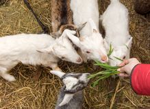 Un piccolo giovane primo piano della capra in un gregge Il concetto di bestiame Copi lo spazio Fotografia Stock