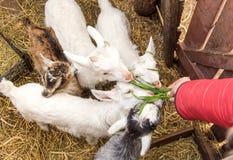 Un piccolo giovane primo piano della capra in un gregge Il concetto di bestiame Copi lo spazio Immagine Stock