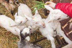 Un piccolo giovane primo piano della capra in un gregge Il concetto di bestiame Copi lo spazio Fotografia Stock Libera da Diritti