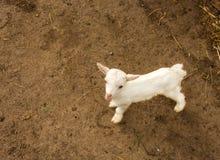 Un piccolo giovane primo piano della capra in un gregge Il concetto di bestiame Copi lo spazio Immagini Stock
