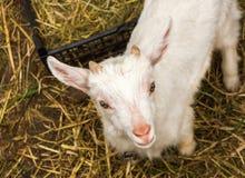 Un piccolo giovane primo piano della capra in un gregge Il concetto di bestiame Copi lo spazio Immagine Stock Libera da Diritti