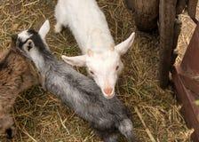 Un piccolo giovane primo piano della capra in un gregge Il concetto di bestiame Copi lo spazio Fotografie Stock Libere da Diritti