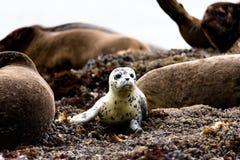 Un piccolo leone marino molto curioso Immagini Stock