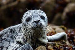 Un piccolo leone marino sveglio Immagine Stock