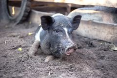 Un piccolo maiale nero sta trovandosi sulla terra Immagine Stock
