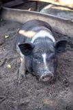 Un piccolo maiale nero sta trovandosi sulla terra in un porcile Fotografie Stock