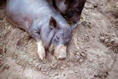 Un piccolo maiale nero sta trovandosi sulla terra in un porcile Fotografia Stock Libera da Diritti