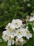 Un piccolo mazzo dei fiori bianchi con un'ape che raccoglie polline da loro fotografia stock libera da diritti