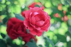 Un piccolo mazzo delle rose rosse che fioriscono nel giardino su un fondo verde, immagine stock