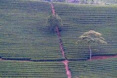 Un piccolo modo nell'azienda agricola del tè Fotografia Stock Libera da Diritti