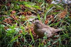 Un piccolo passero Immagine Stock