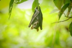 Un piccolo pipistrello Immagini Stock