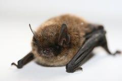 Un piccolo pipistrello fotografia stock