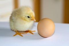Un piccolo pollo lanuginoso giallo che si siede su una superficie bianca e Immagine Stock Libera da Diritti
