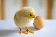 Un piccolo pollo lanuginoso giallo sveglio che sta su un surfac bianco Fotografia Stock Libera da Diritti