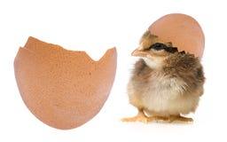 Un piccolo pollo neonato Fotografia Stock Libera da Diritti