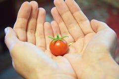 Un piccolo pomodoro sulle mani immagine stock libera da diritti