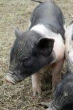 Un piccolo porcellino Fotografia Stock