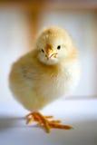 Un piccolo pulcino giallo lanuginoso che sta in un mezzo giro sul whi Fotografia Stock