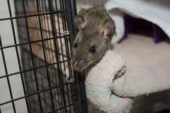 Un piccolo ratto marrone dà una occhiata a fuori dalla sua gabbia aperta al riparo animale fotografia stock