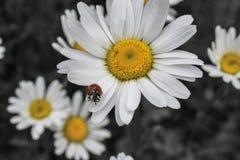 Un piccolo scarabeo su un fiore di estate fotografia stock