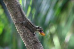 Un piccolo scoiattolo che mangia la frutta della palma fotografie stock