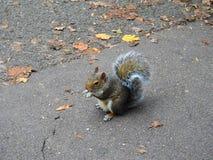 Un piccolo scoiattolo che tiene e che mangia una nocciola nel parco fotografie stock libere da diritti