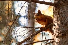 Un piccolo scoiattolo dai capelli rossi fotografie stock libere da diritti