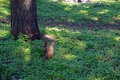 Un piccolo scoiattolo nel legno Immagini Stock Libere da Diritti
