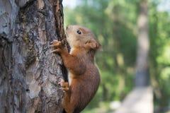 Un piccolo scoiattolo rosso si siede su un albero Natura selvaggia immagini stock