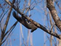 Un piccolo scoiattolo sicuro non ha timore nel suo territorio Immagine Stock
