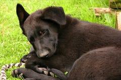 Un piccolo sonno del cucciolo sull'erba perché era stanco È un cucciolo divertente di un pastore tedesco nero fotografia stock libera da diritti