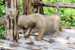 Un piccolo supporti canini beige su un banco Fotografia Stock