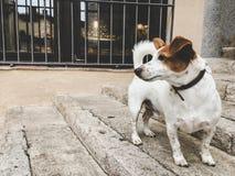 Un piccolo terrier di russell della presa del cane della razza su una vecchia via europea immagini stock libere da diritti