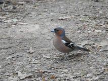 Un piccolo uccello che canta nel legno fotografie stock