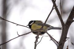 Un piccolo uccello con una pancia gonfiata giallo si siede su un ramo fotografia stock