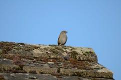 Un piccolo uccello, un Dunnock, canta dalla cresta di un tetto immagine stock